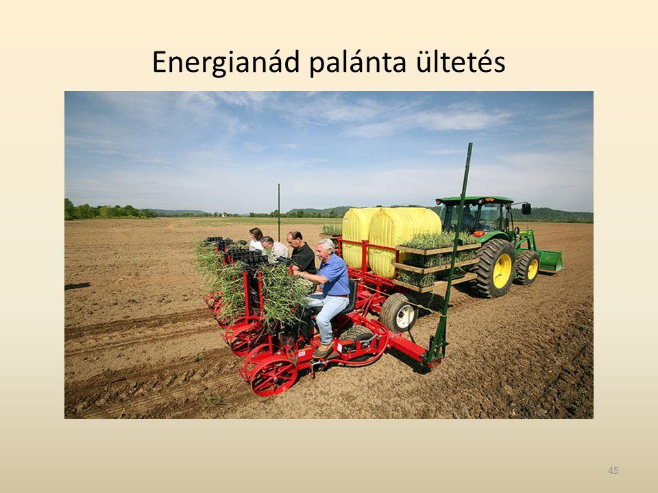 Energianád palánta ültetés