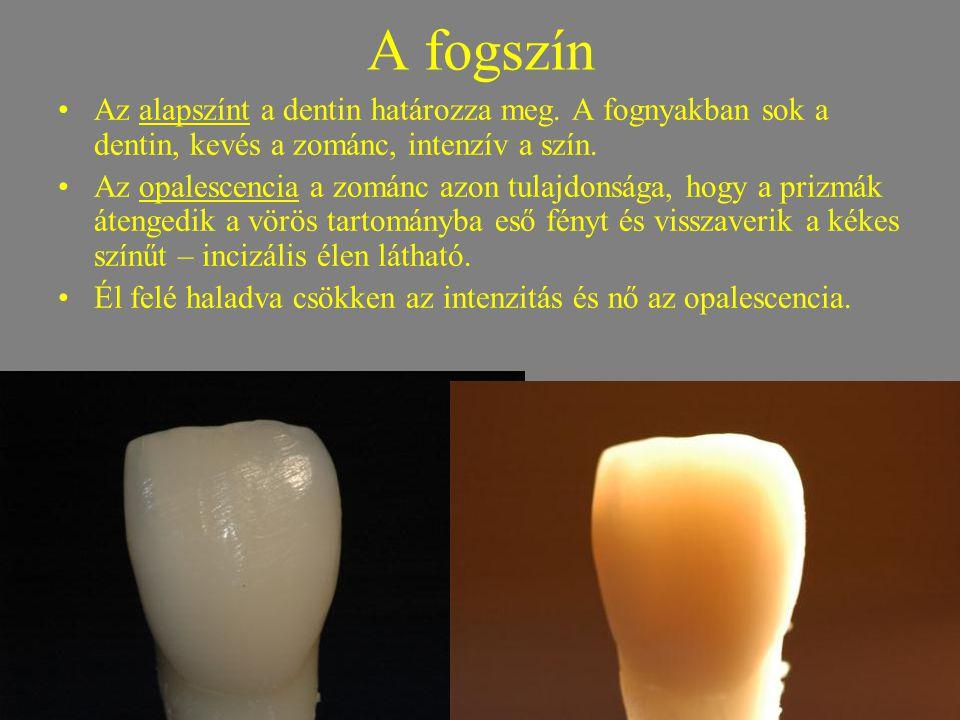 A fogszín Az alapszínt a dentin határozza meg. A fognyakban sok a dentin, kevés a zománc, intenzív a szín.