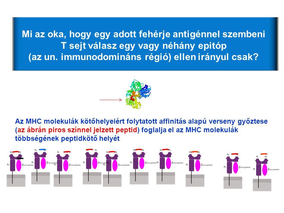 Mi az oka, hogy egy adott fehérje antigénnel szembeni T sejt válasz egy vagy néhány epitóp (az un. immunodomináns régió) ellen irányul csak