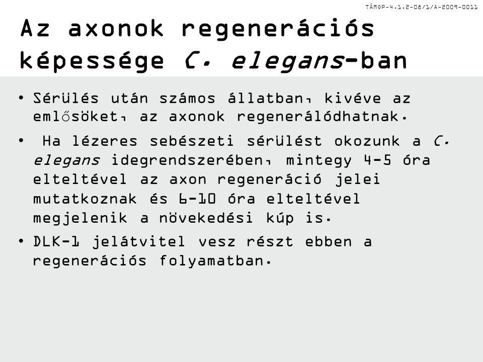 Az axonok regenerációs képessége C. elegans-ban