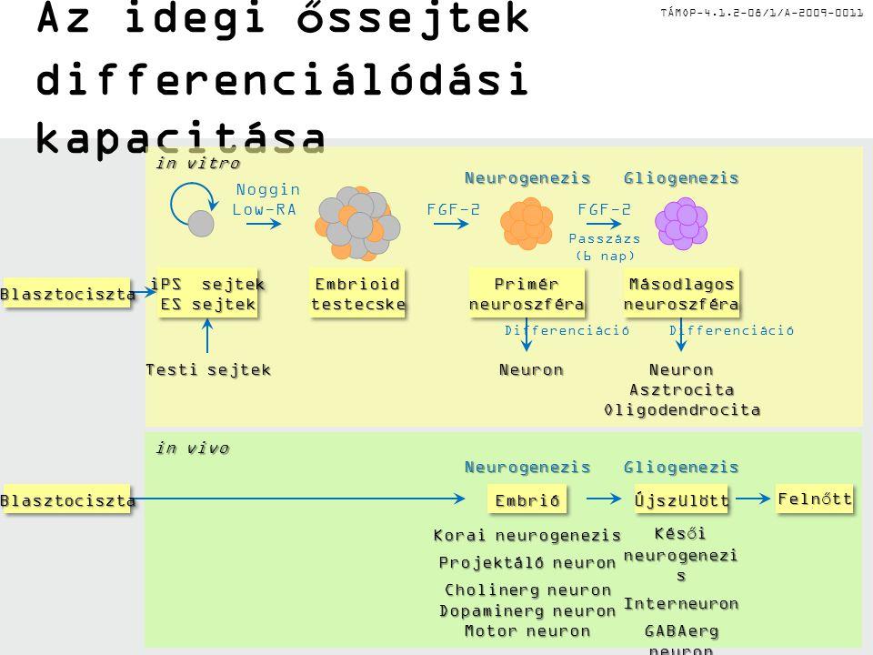 Az idegi őssejtek differenciálódási kapacitása