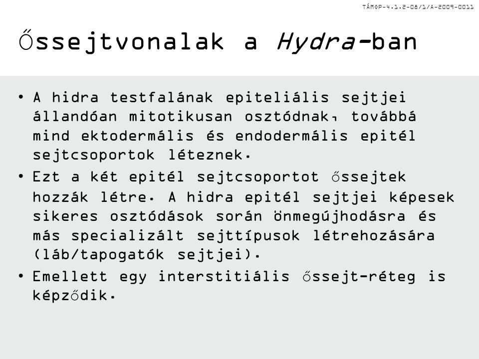 Őssejtvonalak a Hydra-ban