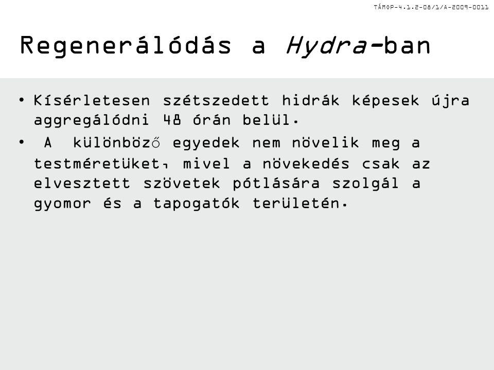 Regenerálódás a Hydra-ban