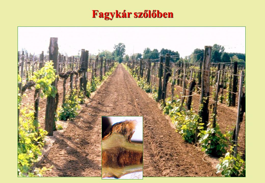 Fagykár szőlőben