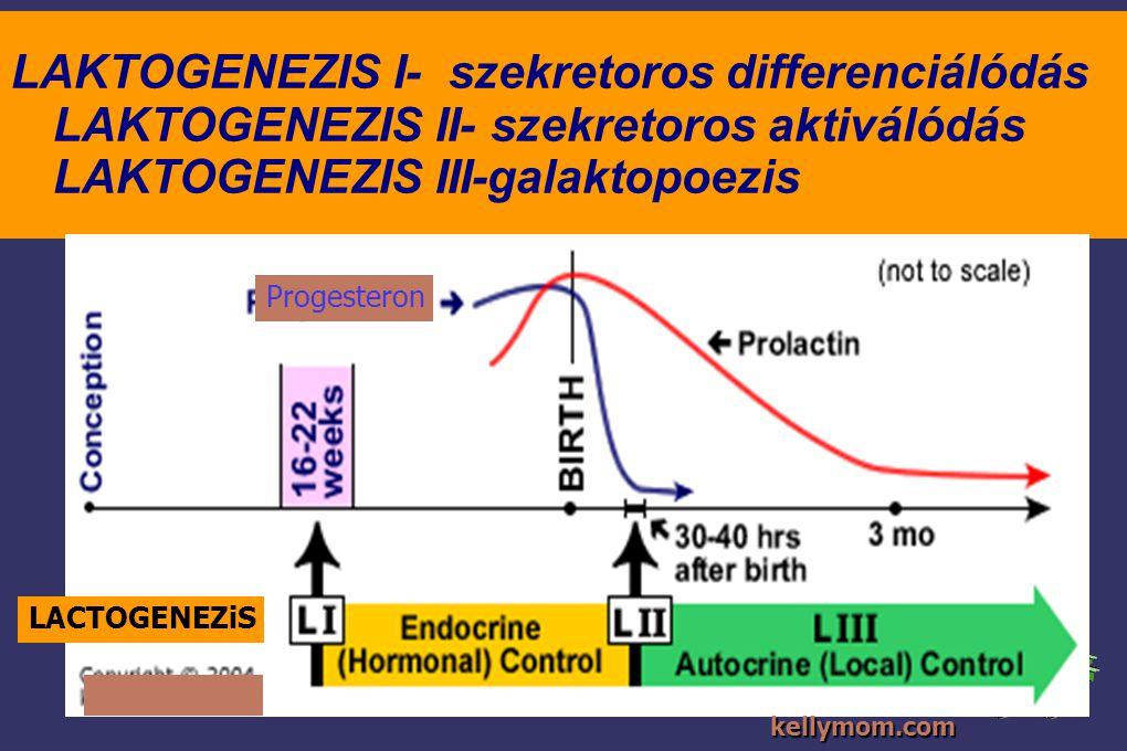 LAKTOGENEZIS I- szekretoros differenciálódás LAKTOGENEZIS II- szekretoros aktiválódás LAKTOGENEZIS III-galaktopoezis
