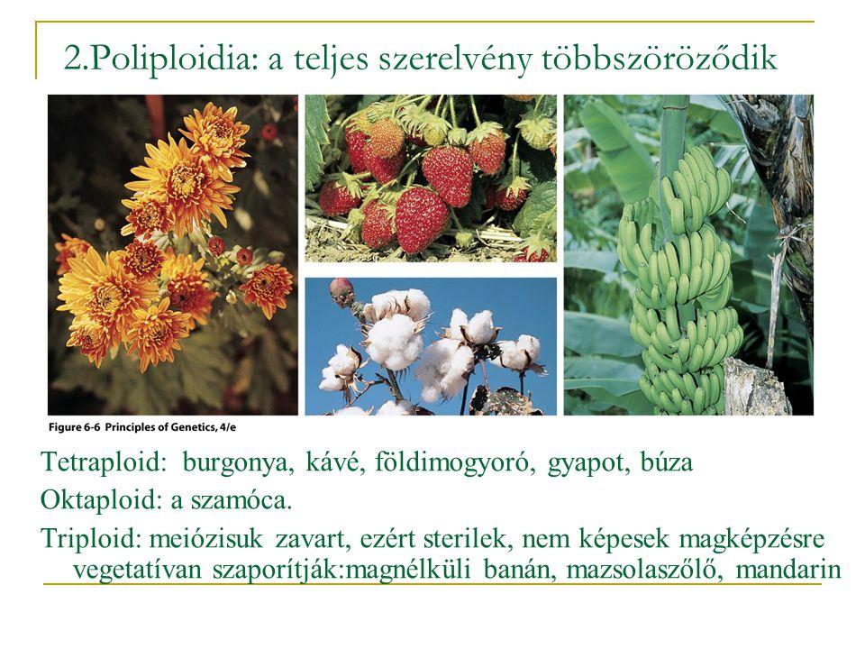 2.Poliploidia: a teljes szerelvény többszöröződik