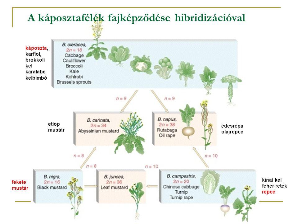 A káposztafélék fajképződése hibridizációval