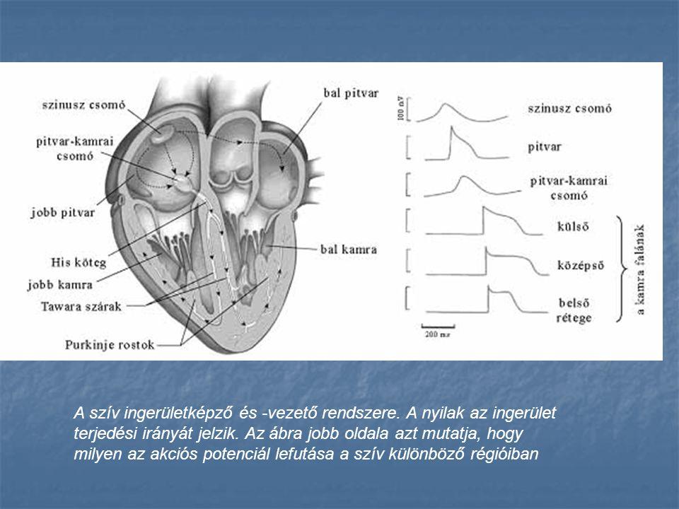 A szív ingerületképző és -vezető rendszere