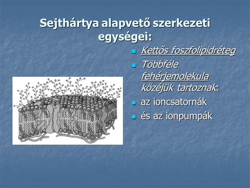 Sejthártya alapvető szerkezeti egységei: