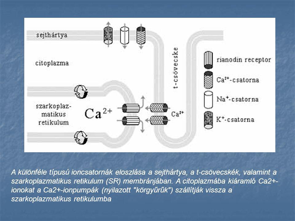 A különféle típusú ioncsatornák eloszlása a sejthártya, a t-csövecskék, valamint a szarkoplazmatikus retikulum (SR) membránjában.