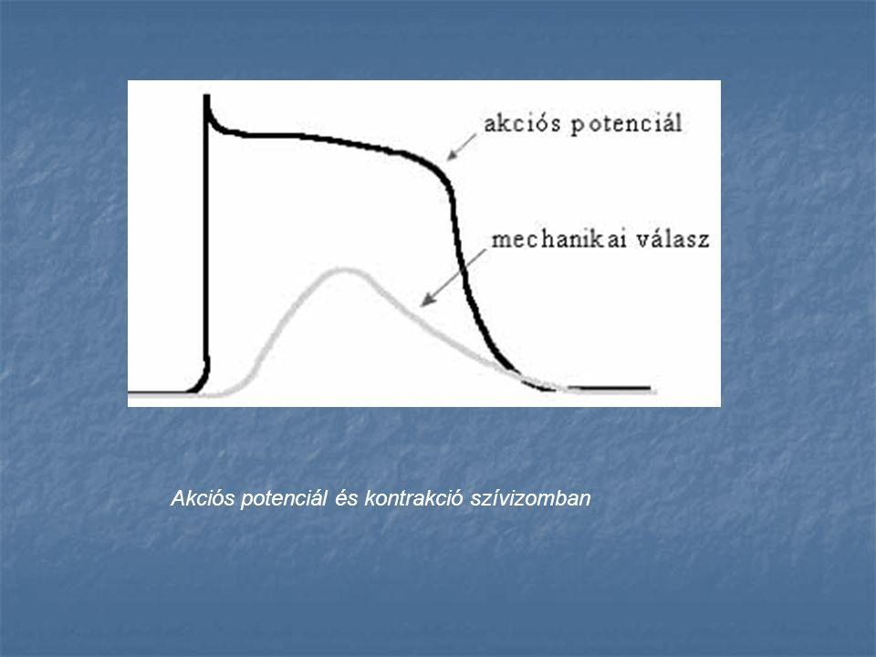 Akciós potenciál és kontrakció szívizomban