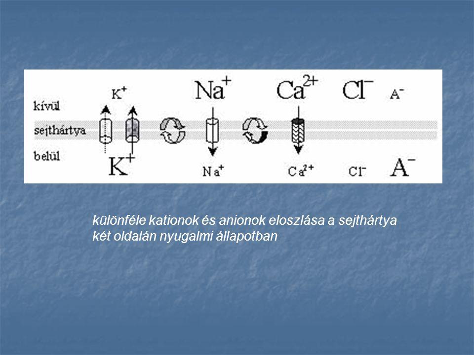 különféle kationok és anionok eloszlása a sejthártya két oldalán nyugalmi állapotban