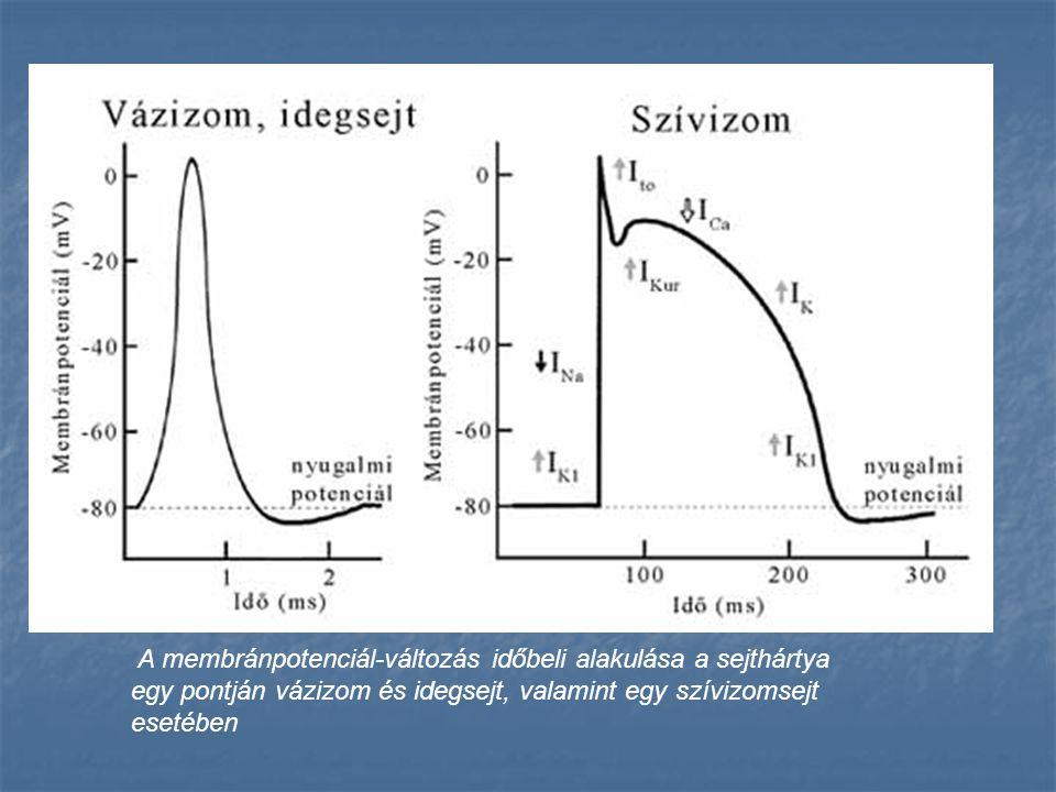 A membránpotenciál-változás időbeli alakulása a sejthártya egy pontján vázizom és idegsejt, valamint egy szívizomsejt esetében