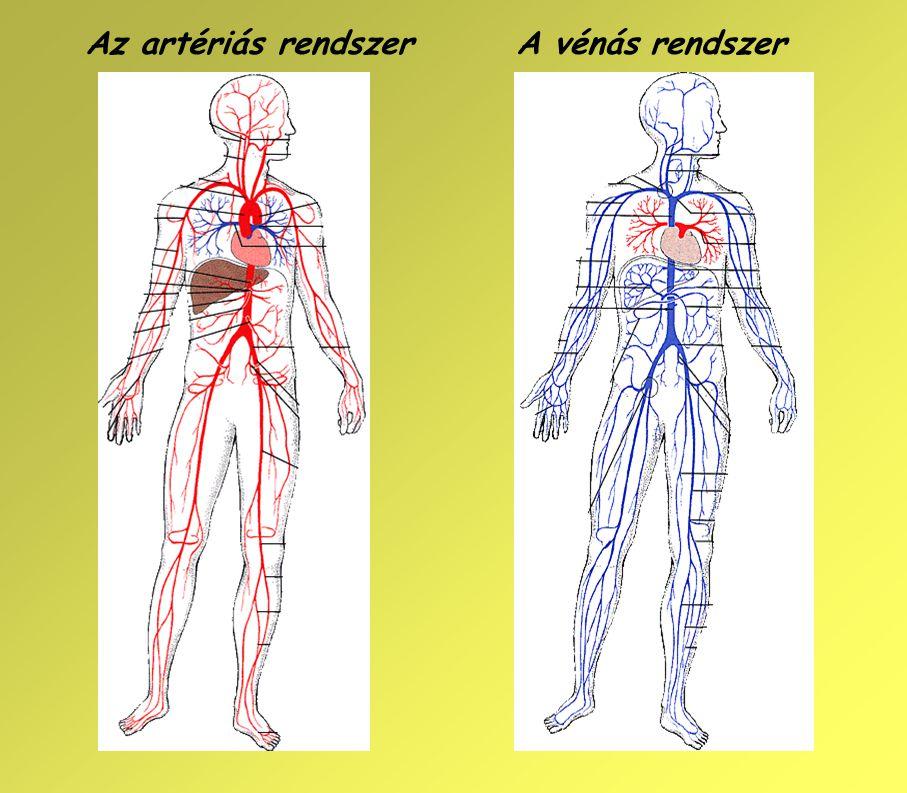 Az artériás rendszer A vénás rendszer