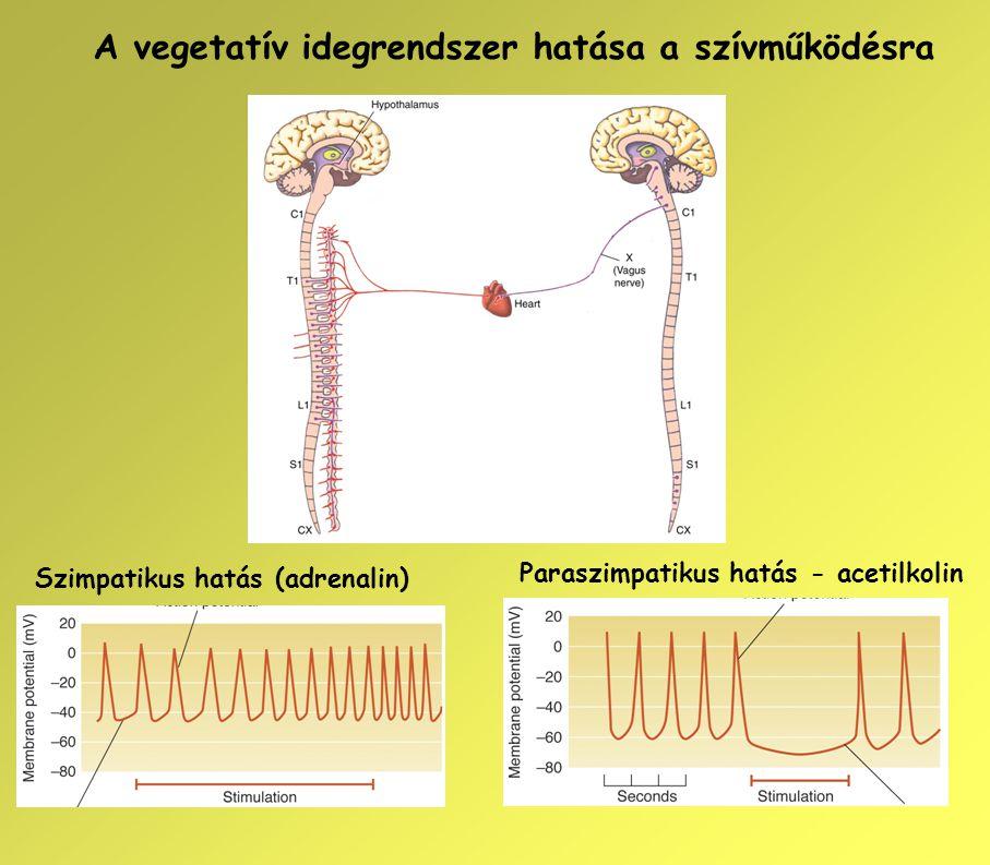 A vegetatív idegrendszer hatása a szívműködésra