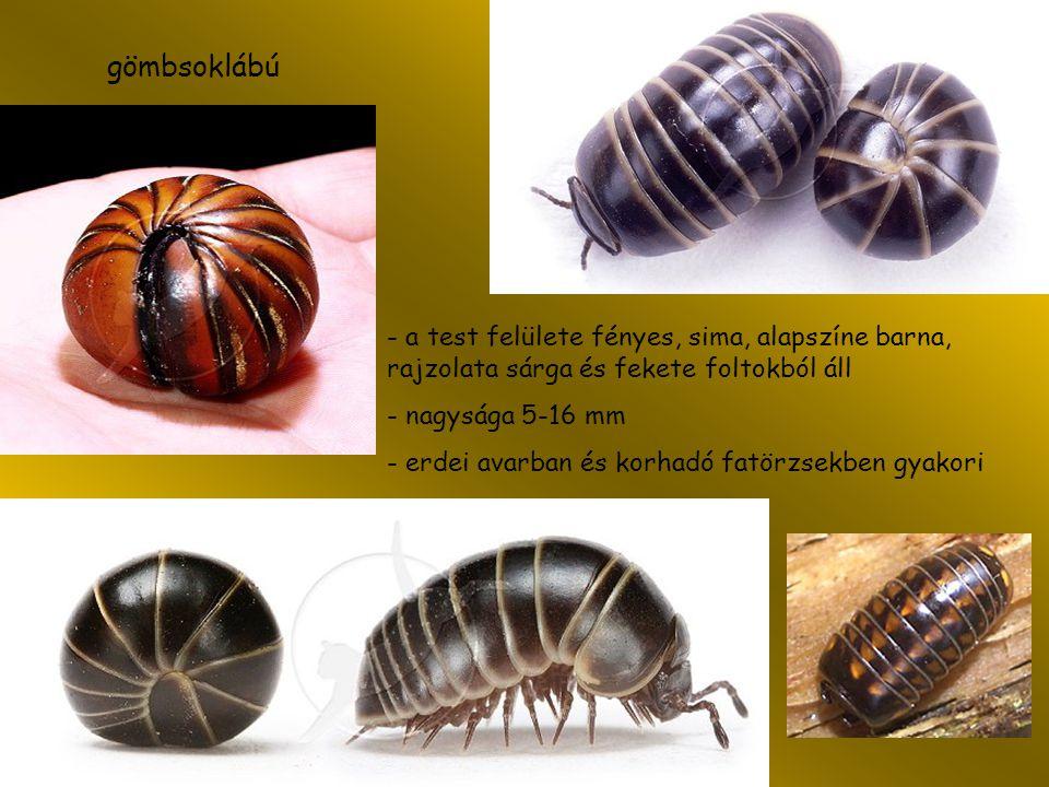 gömbsoklábú - a test felülete fényes, sima, alapszíne barna, rajzolata sárga és fekete foltokból áll.