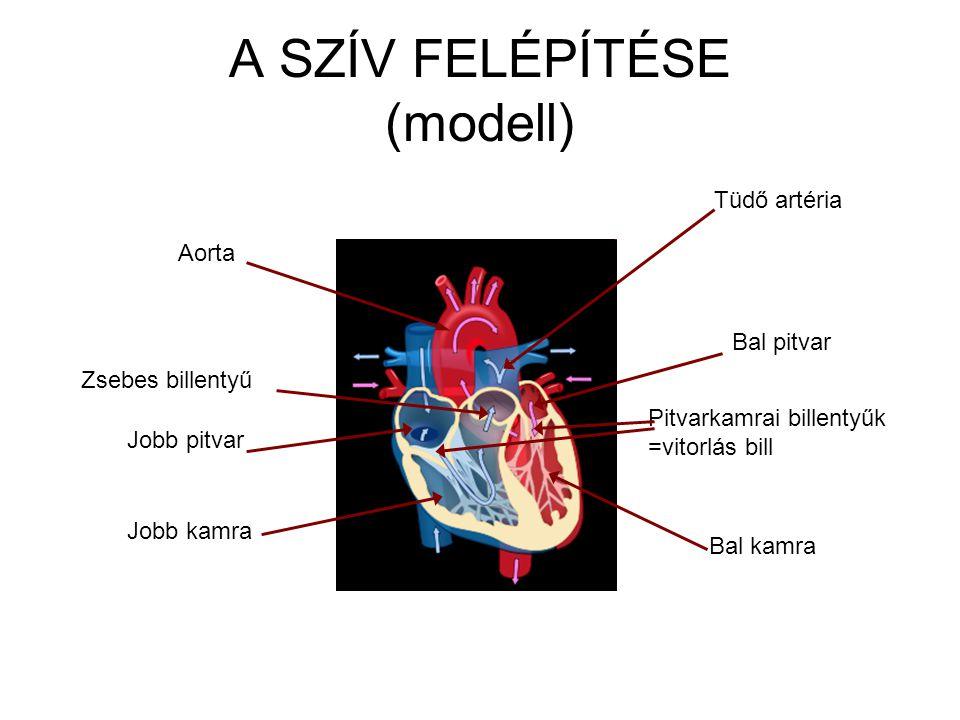 A SZÍV FELÉPÍTÉSE (modell)