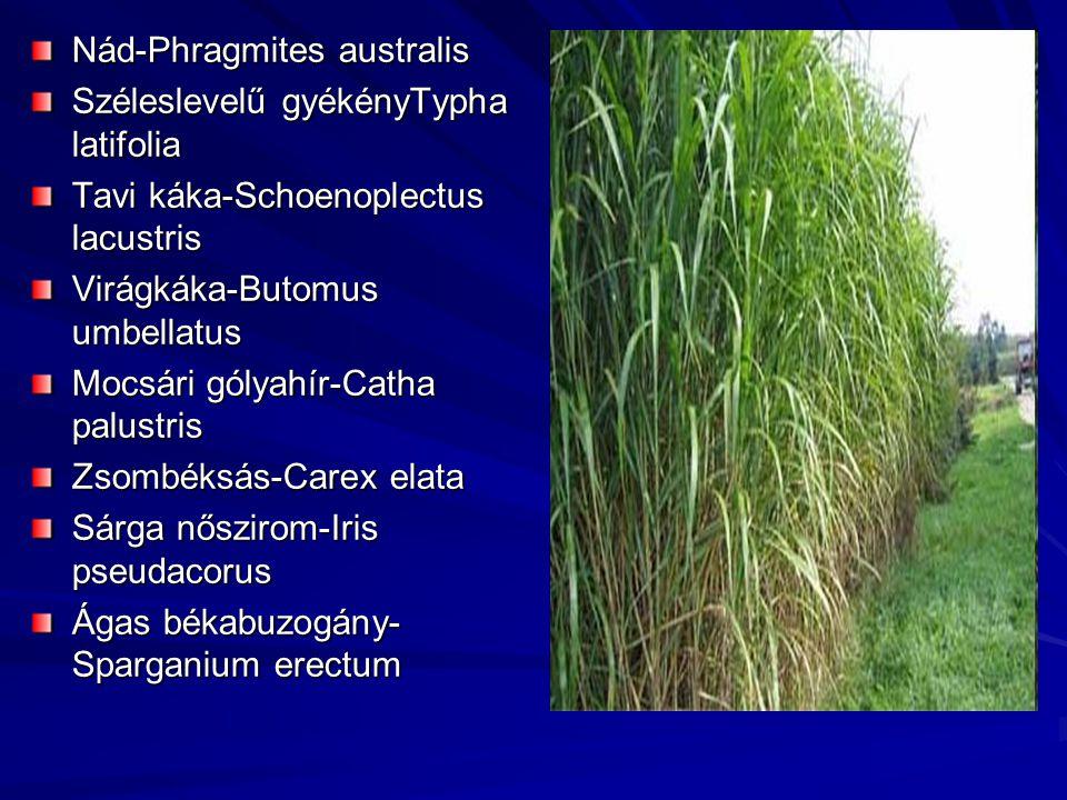 Nád-Phragmites australis