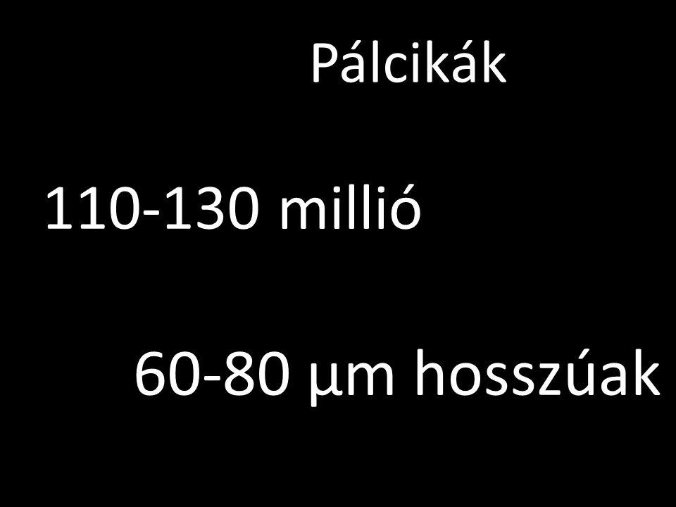 Pálcikák 110-130 millió 60-80 µm hosszúak