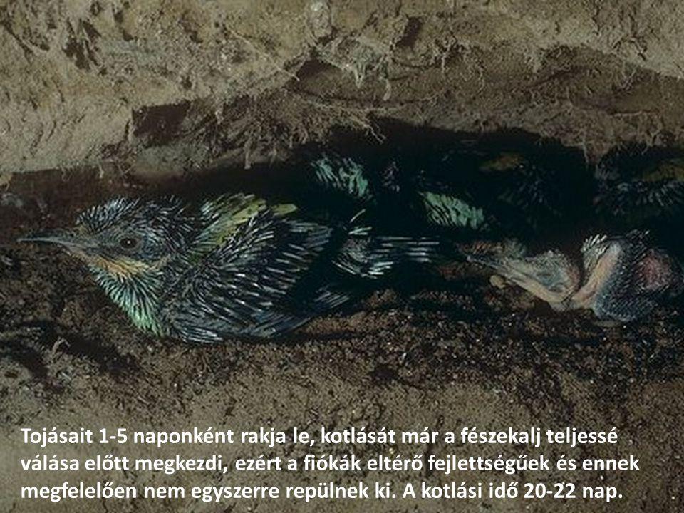 Tojásait 1-5 naponként rakja le, kotlását már a fészekalj teljessé válása előtt megkezdi, ezért a fiókák eltérő fejlettségűek és ennek megfelelően nem egyszerre repülnek ki.