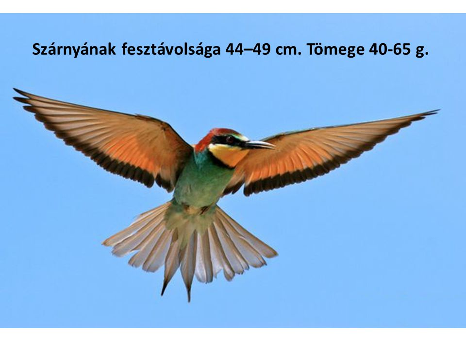 Szárnyának fesztávolsága 44–49 cm. Tömege 40-65 g.