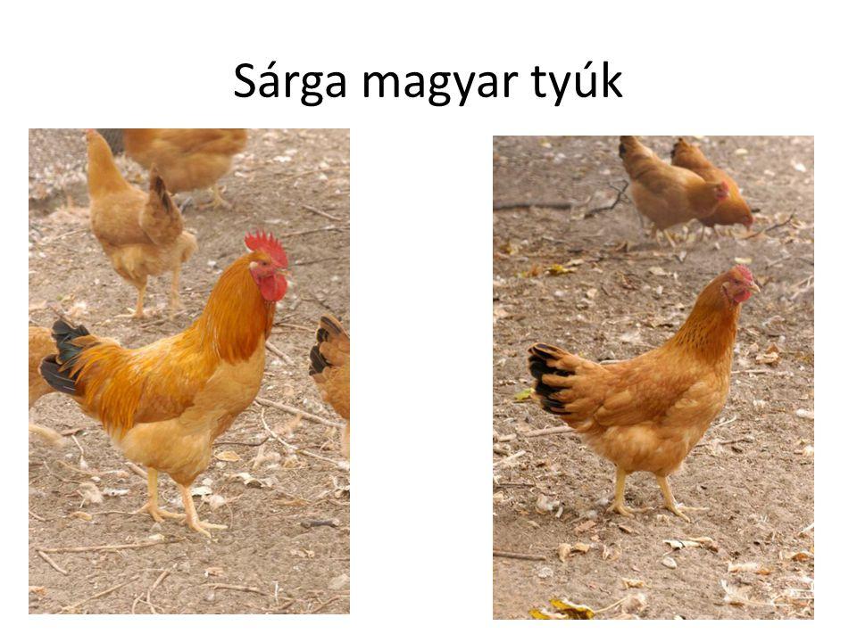 Sárga magyar tyúk