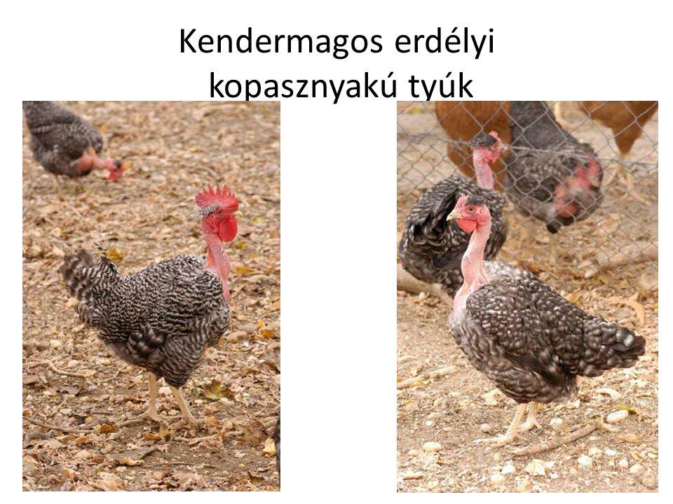 Kendermagos erdélyi kopasznyakú tyúk