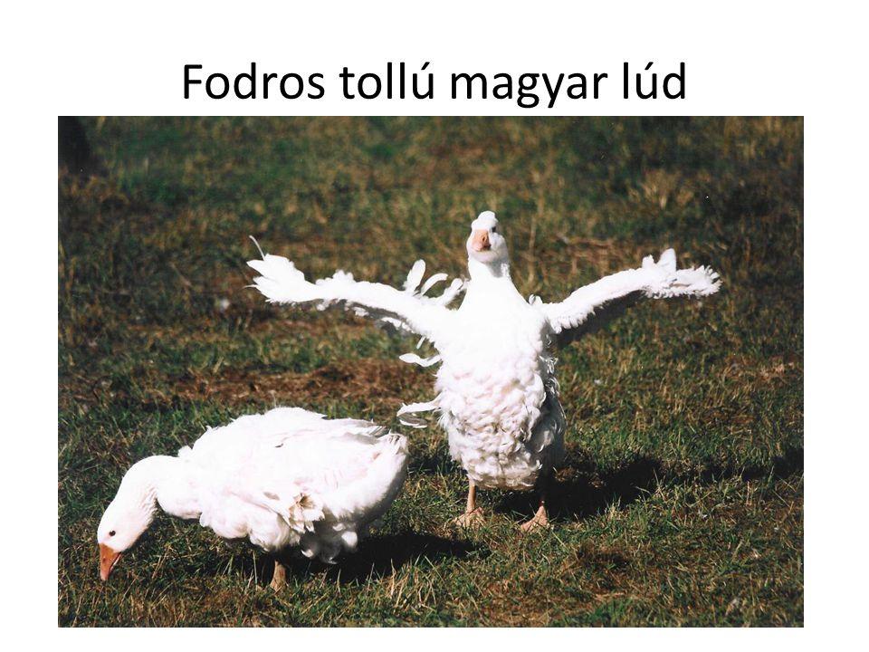 Fodros tollú magyar lúd