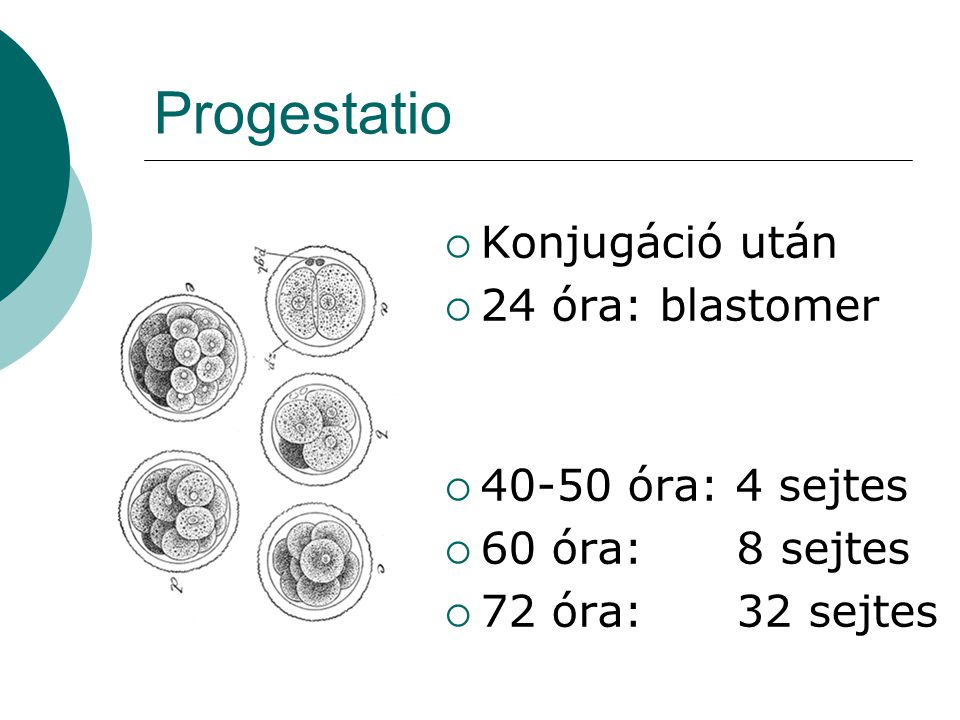 Progestatio Konjugáció után 24 óra: blastomer 40-50 óra: 4 sejtes