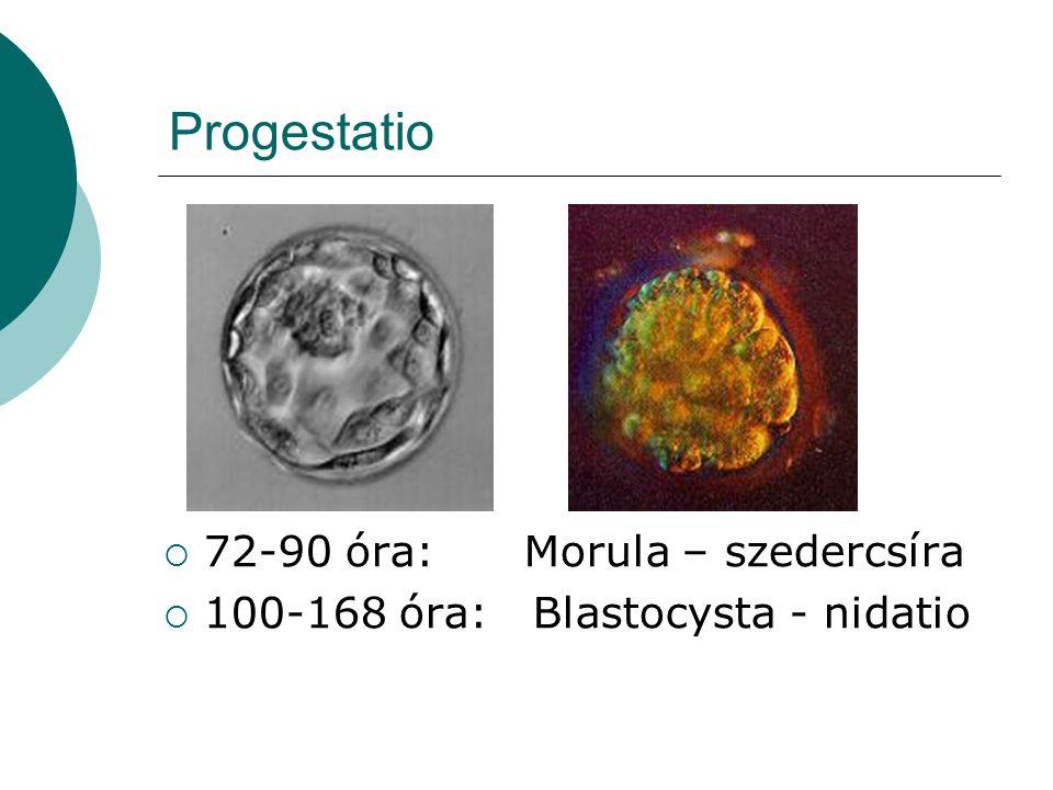 Progestatio 72-90 óra: Morula – szedercsíra