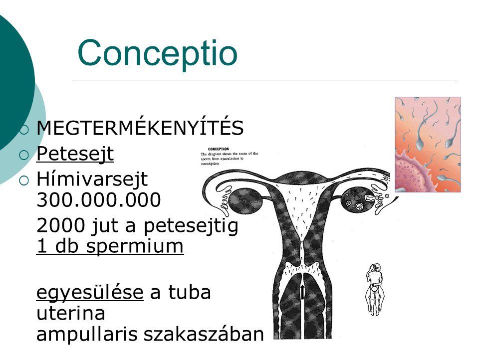 Conceptio MEGTERMÉKENYÍTÉS Petesejt Hímivarsejt 300.000.000