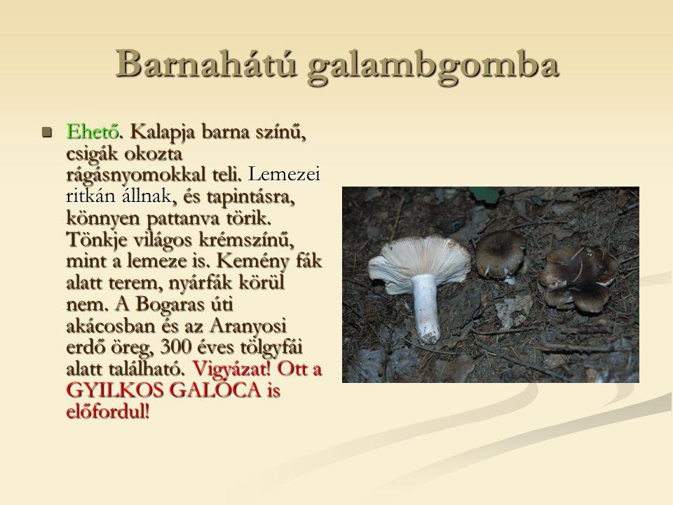 Barnahátú galambgomba