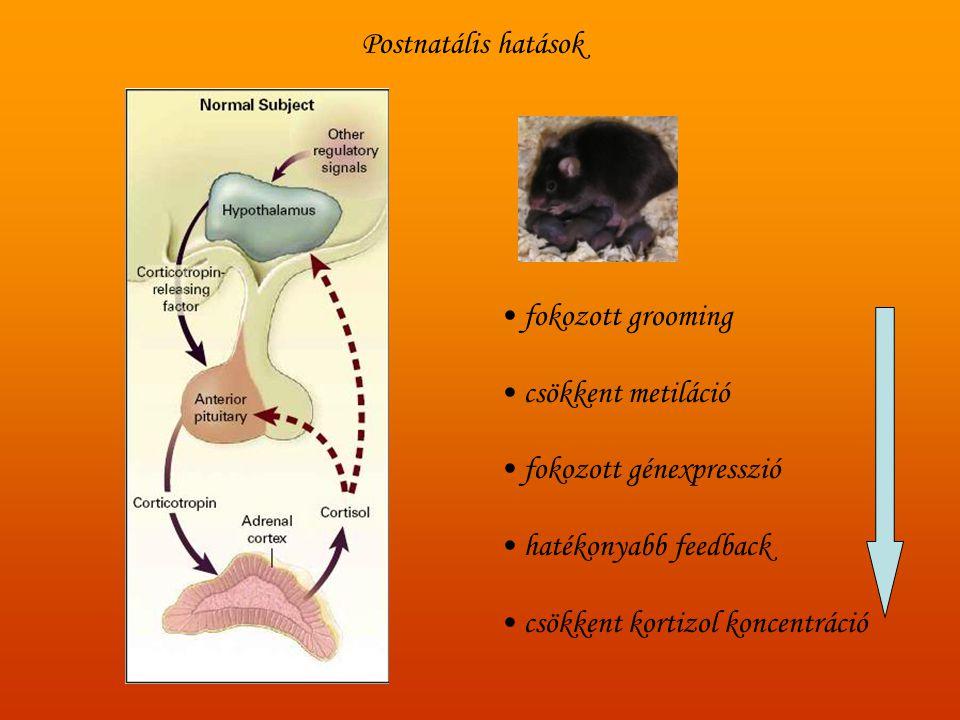 Postnatális hatások fokozott grooming. csökkent metiláció. fokozott génexpresszió. hatékonyabb feedback.