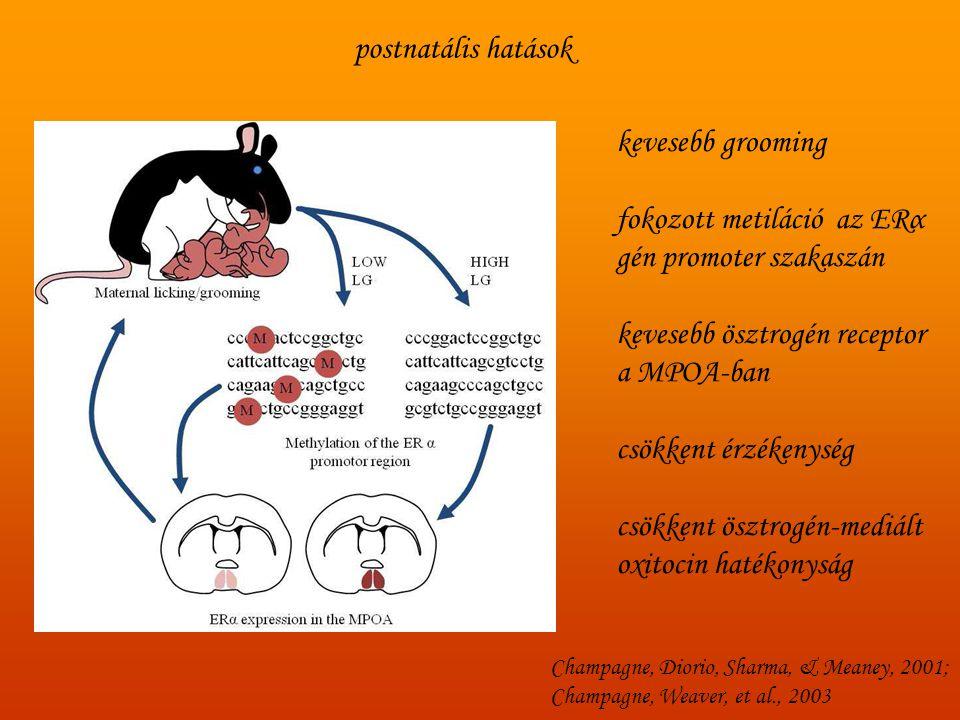 fokozott metiláció az ERα gén promoter szakaszán