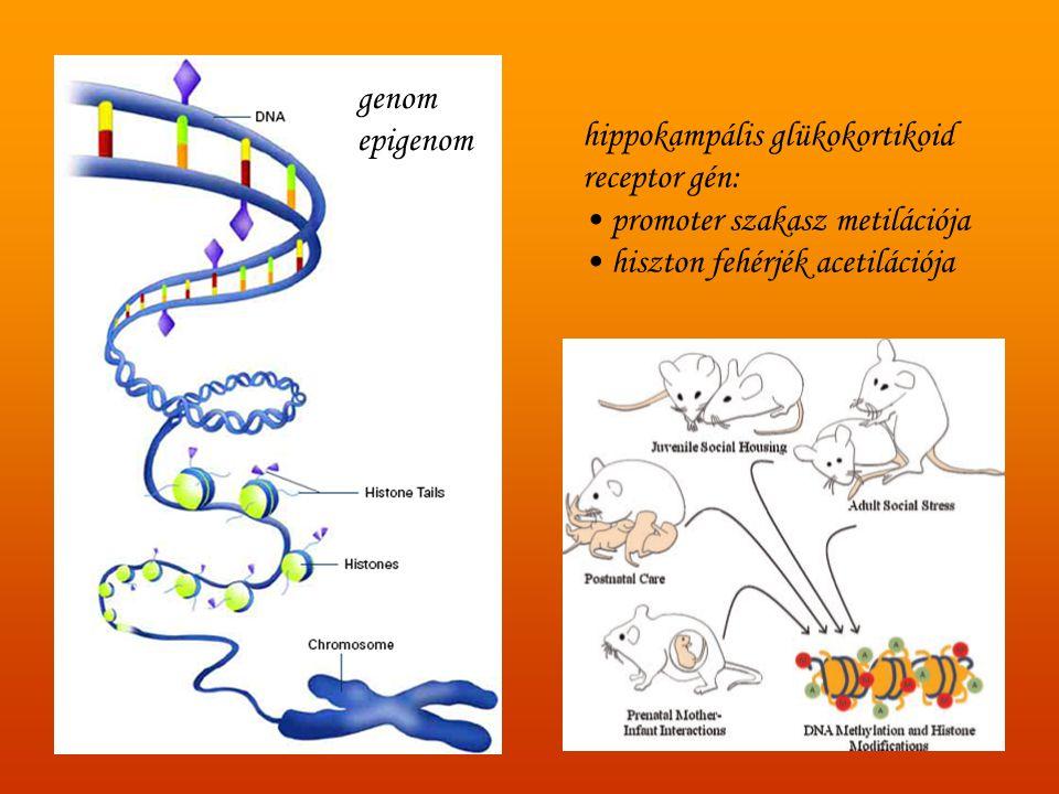 genom epigenom. hippokampális glükokortikoid. receptor gén: promoter szakasz metilációja.