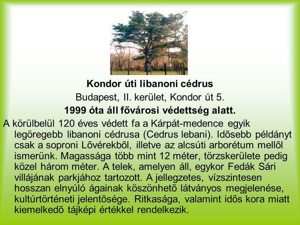 Kondor úti libanoni cédrus