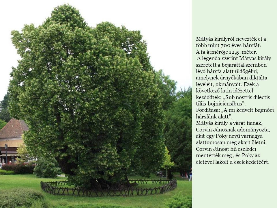 Mátyás királyról nevezték el a több mint 700 éves hársfát