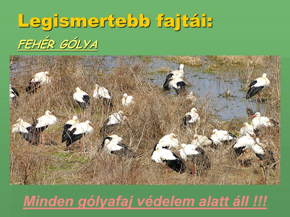 Minden gólyafaj védelem alatt áll !!!