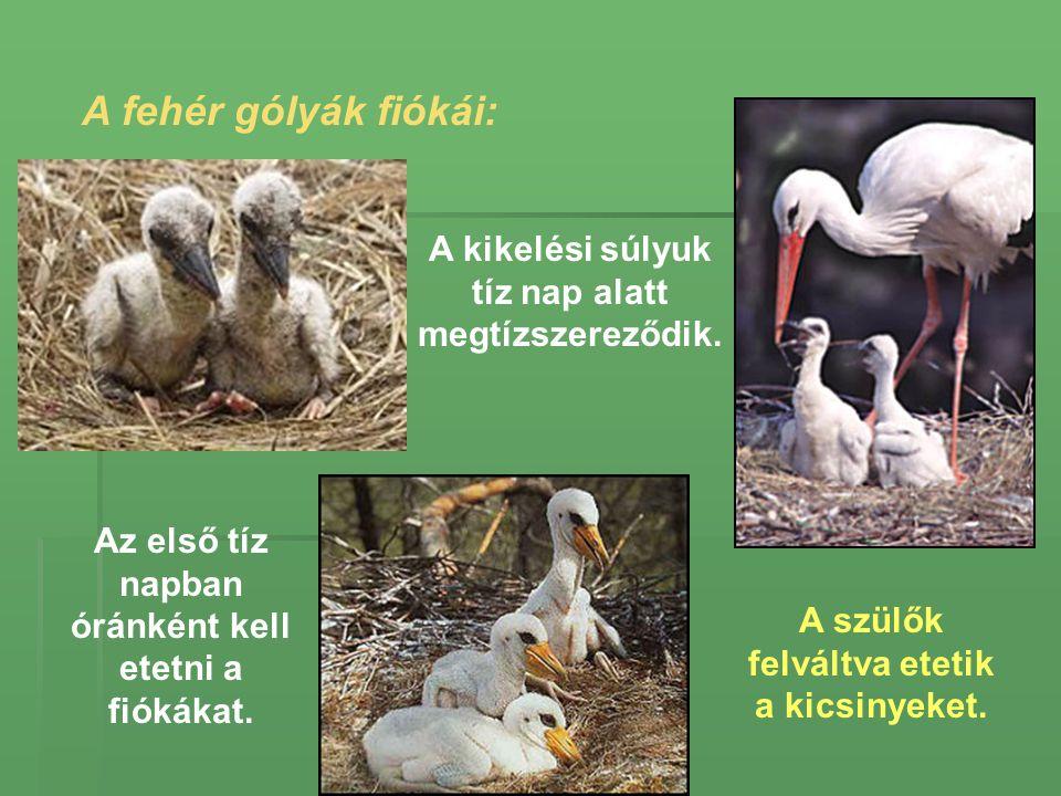 A fehér gólyák fiókái: A kikelési súlyuk tíz nap alatt megtízszereződik. Az első tíz napban óránként kell etetni a fiókákat.
