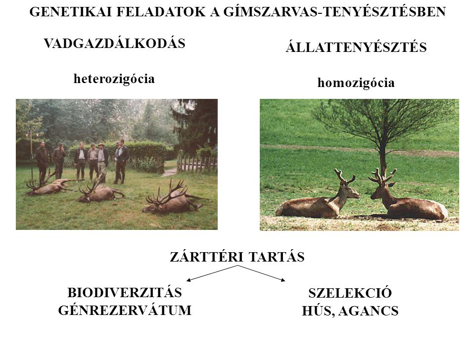 GENETIKAI FELADATOK A GÍMSZARVAS-TENYÉSZTÉSBEN