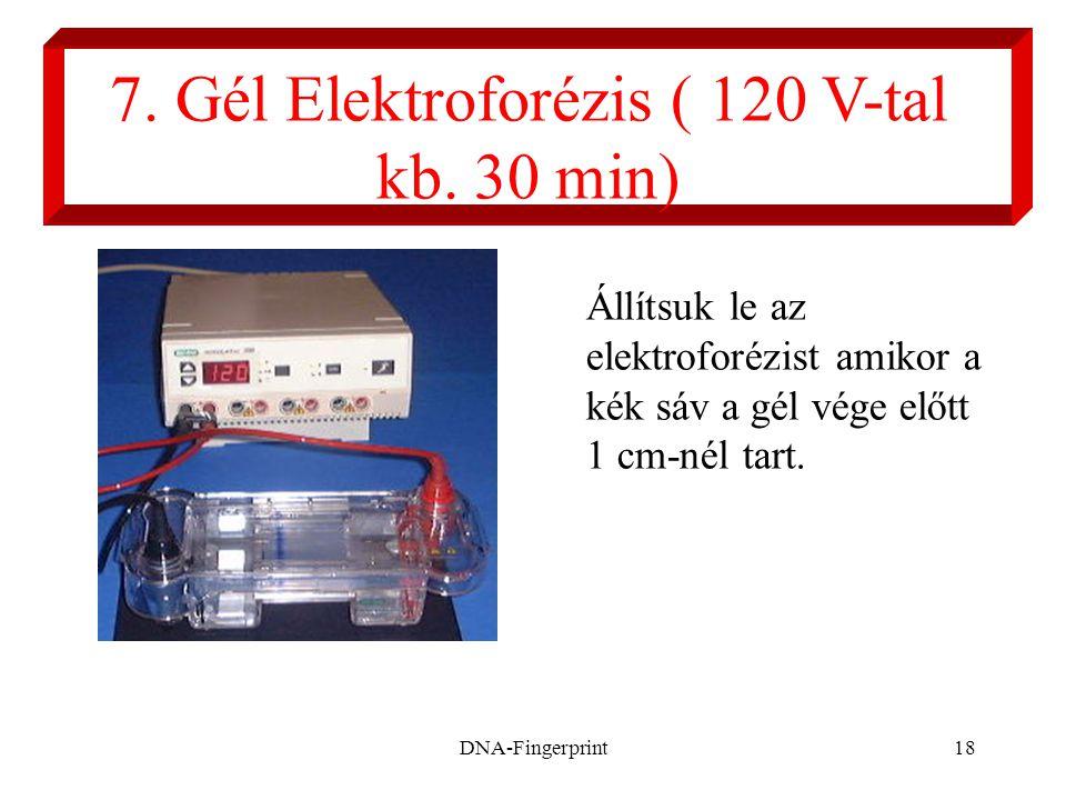 7. Gél Elektroforézis ( 120 V-tal kb. 30 min)