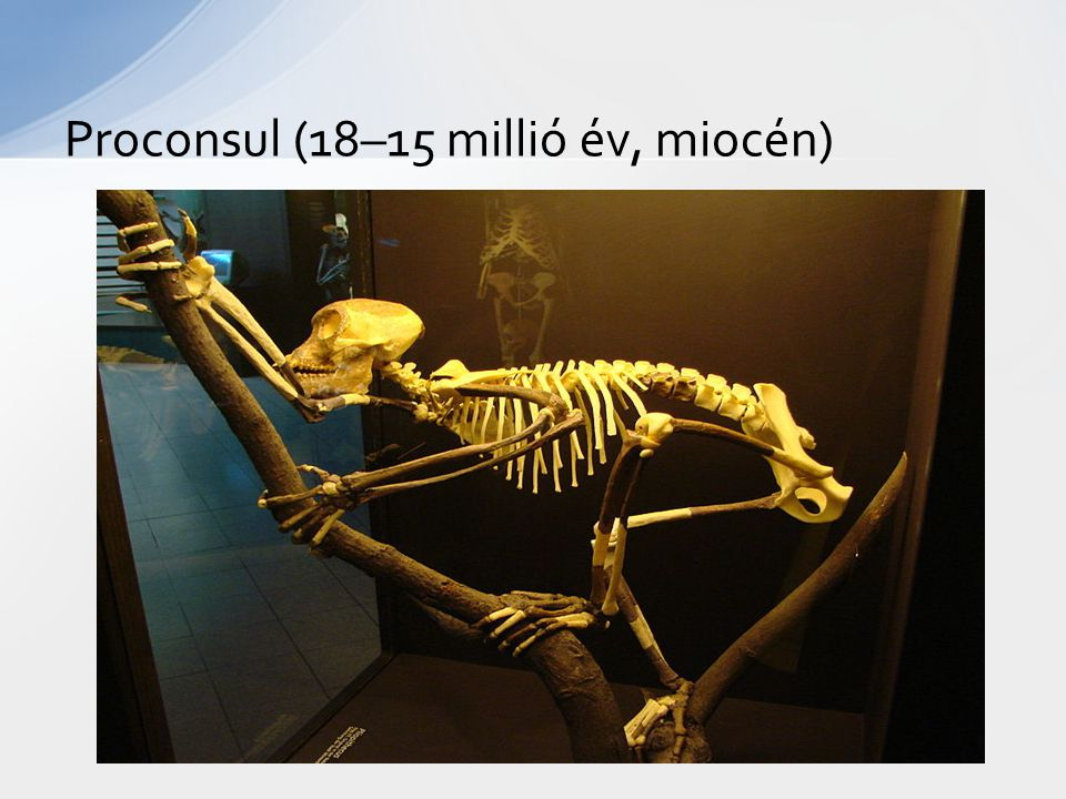 Proconsul (18–15 millió év, miocén)