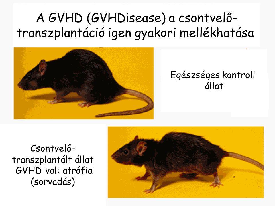 A GVHD (GVHDisease) a csontvelő-