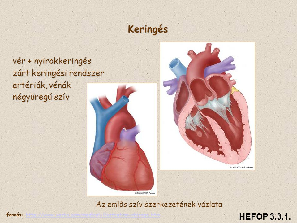 Az emlős szív szerkezetének vázlata