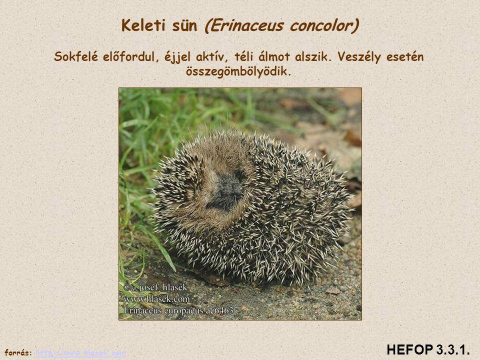 Keleti sün (Erinaceus concolor) Sokfelé előfordul, éjjel aktív, téli álmot alszik. Veszély esetén összegömbölyödik.