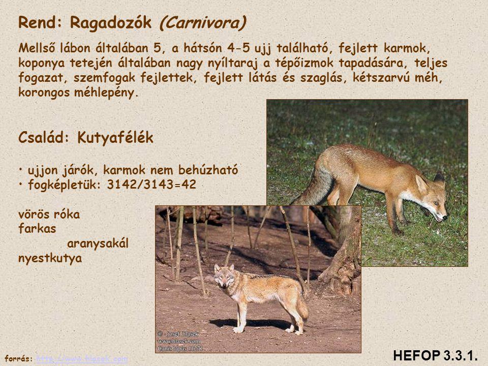 Rend: Ragadozók (Carnivora)