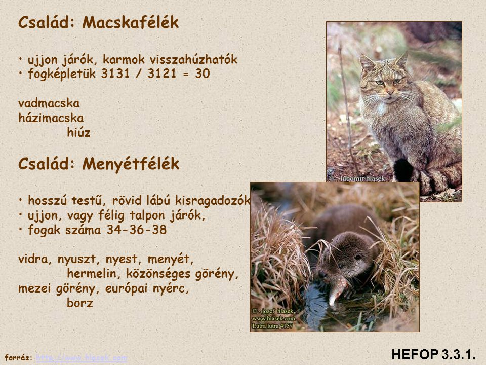 Család: Macskafélék Család: Menyétfélék HEFOP 3.3.1.