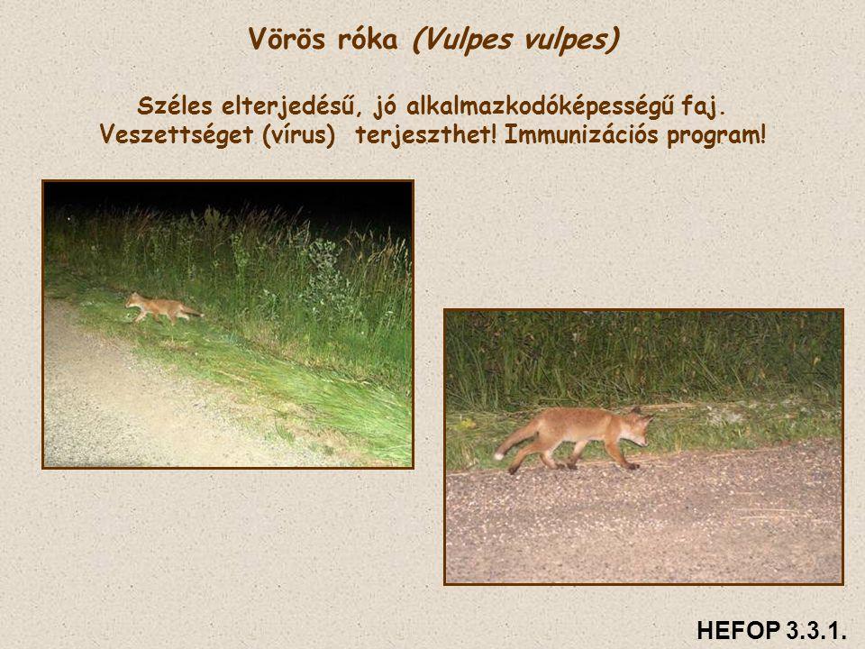 Vörös róka (Vulpes vulpes) Széles elterjedésű, jó alkalmazkodóképességű faj. Veszettséget (vírus) terjeszthet! Immunizációs program!