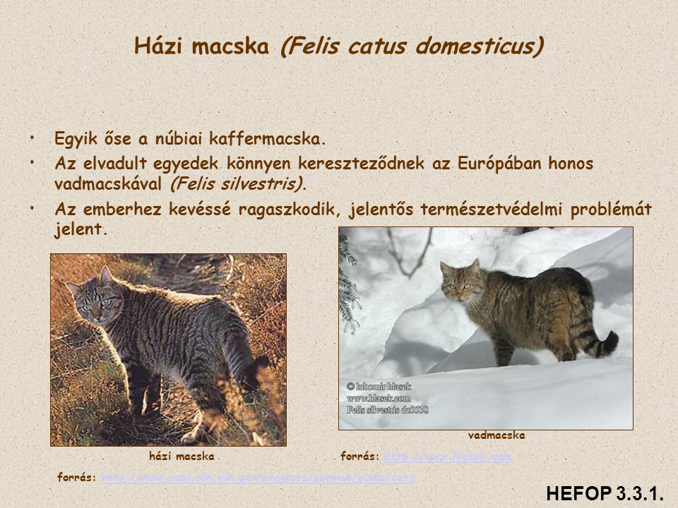 Házi macska (Felis catus domesticus)