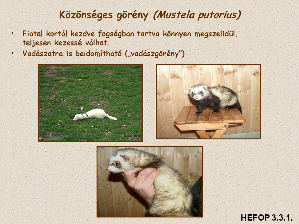 Közönséges görény (Mustela putorius)